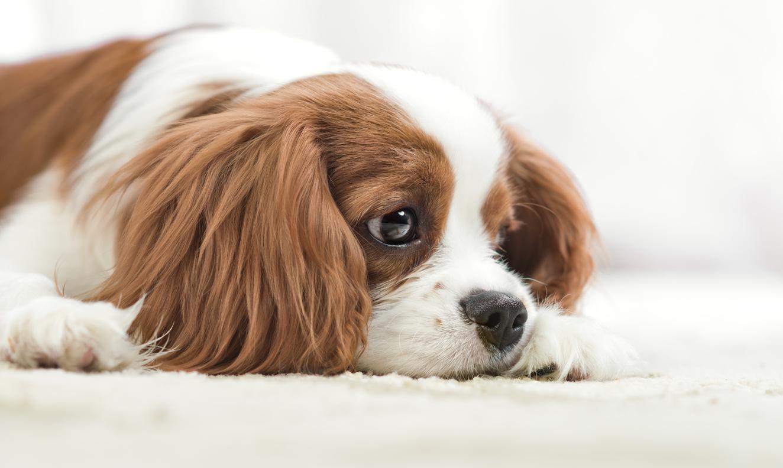 cbd kutyáknak